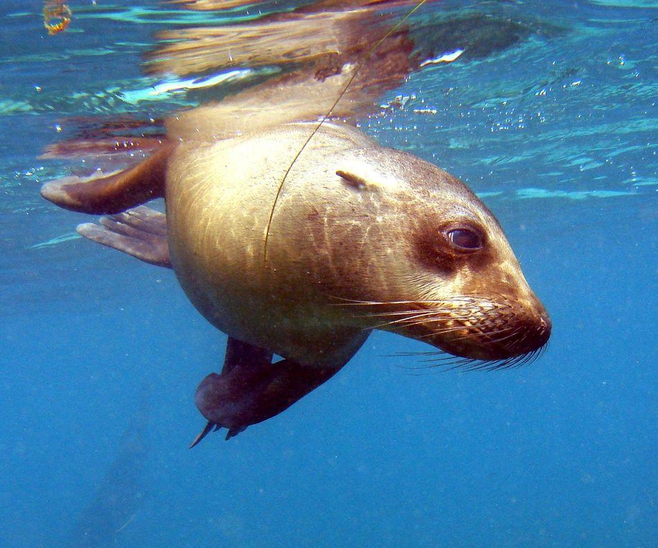 Sea Lion Sea Lion Natural Habitat Animals From The Wild Marine Life Underwater In The Ocean Underwater Photography Under The Sea Under Water