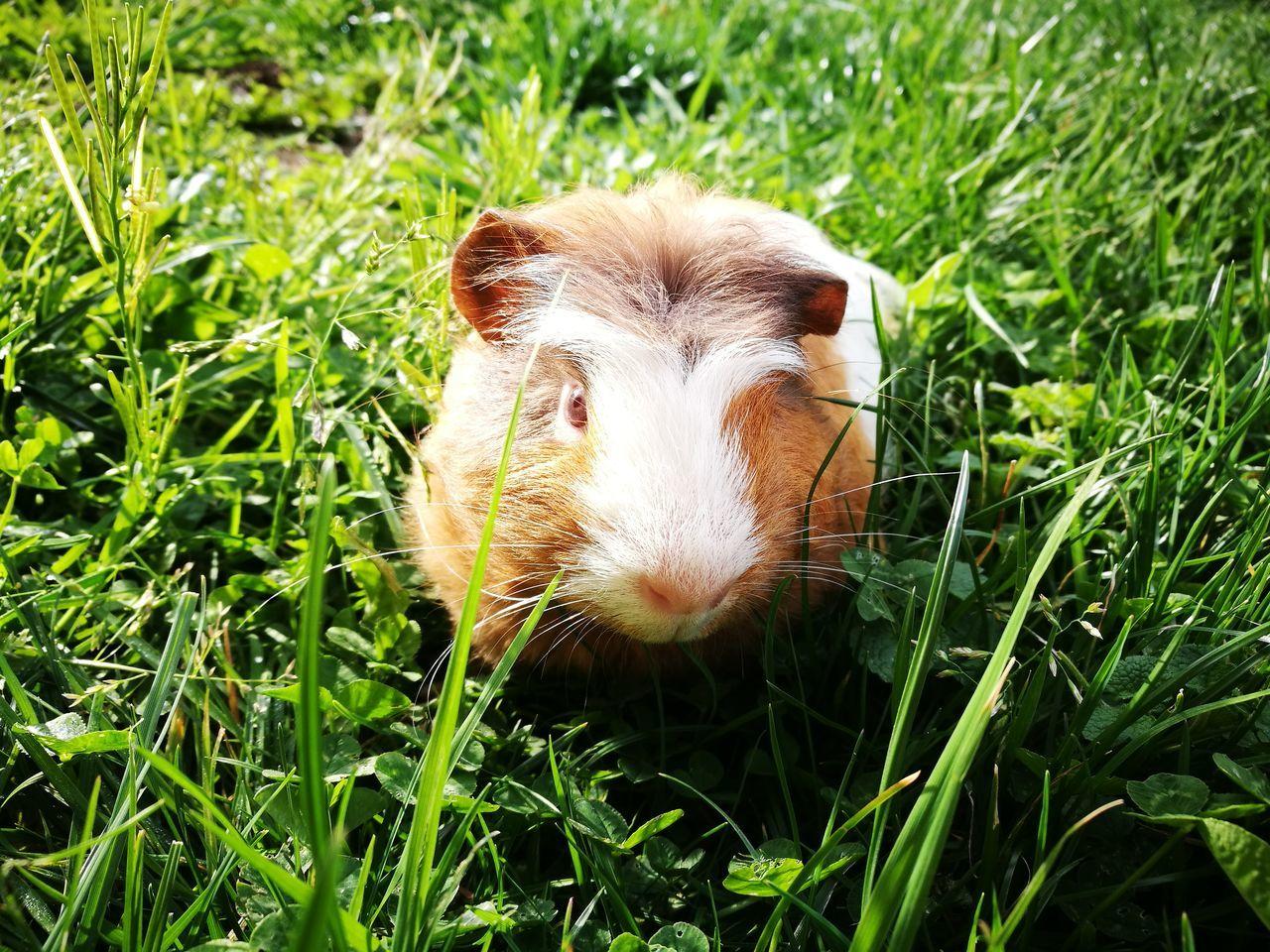 Pinky, the guinea pig. (Pinky, el conejillo de indias.) Guinea Pig Nature No Filters Needed Sunlight Field Grass Pets Conejillo De Indias Natural Sin Filtros Luz Solar Campo Yerba Mascotas