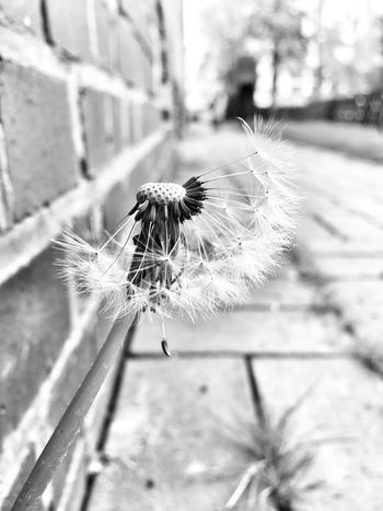 Flower Fragility Focus On Foreground Nature Growth Close-up Plant Outdoors Flower Head Blackandwhite