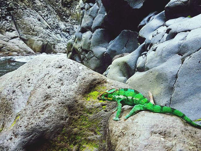 Animal Themes Cameleon Endormi Reunion Island