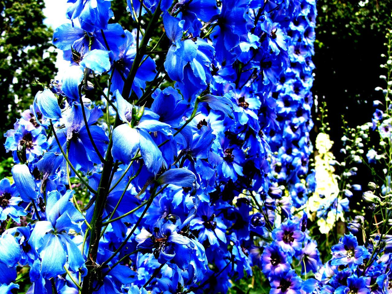 Blue Flowers Blue Flower Nature Beauty In Nature Growth No People Day Outdoors Regents Park London EyeEmNewHere