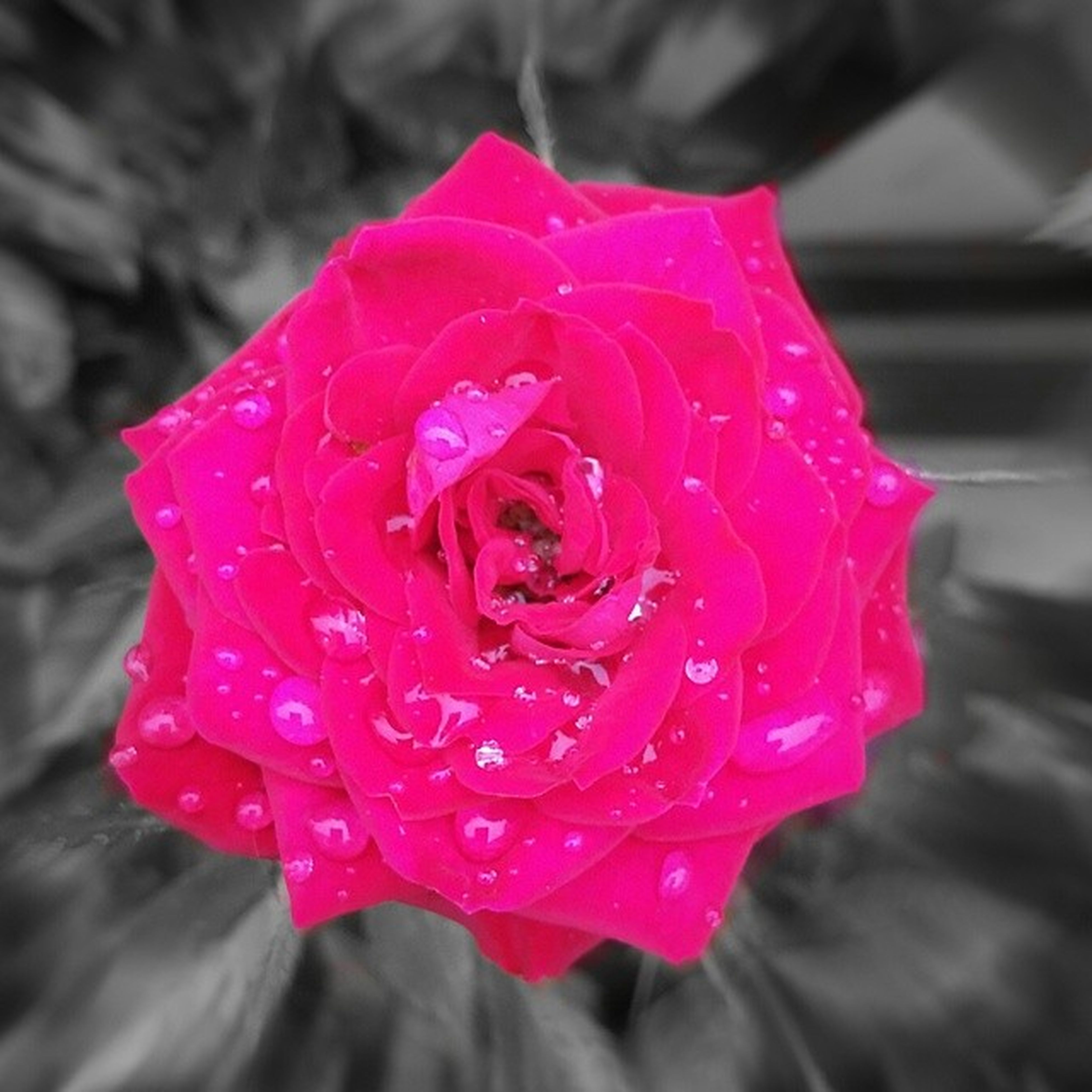 flower, petal, flower head, freshness, fragility, drop, close-up, rose - flower, single flower, wet, beauty in nature, focus on foreground, water, blooming, growth, nature, pink color, dew, in bloom, red