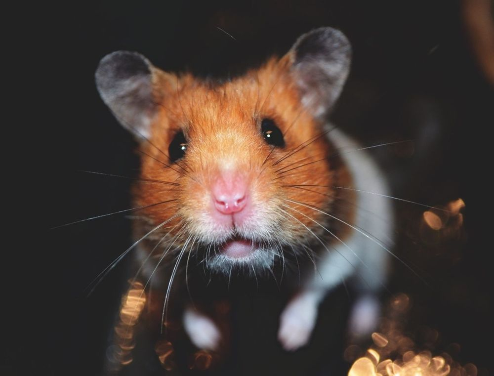 Hamsters Pets Corner