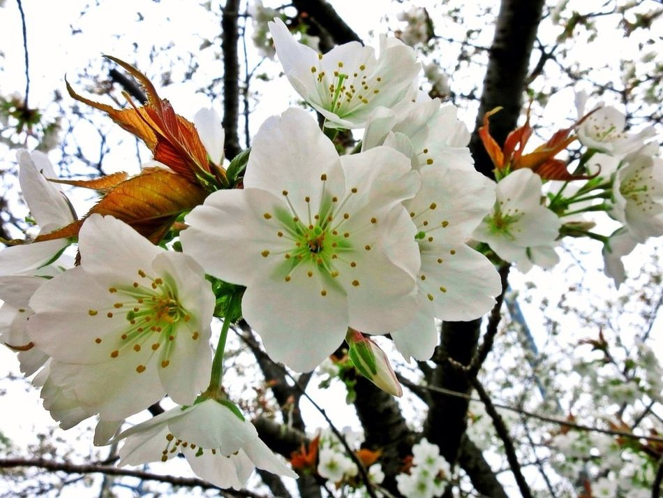 Sakura Japan Spring Flowers Nature_collection