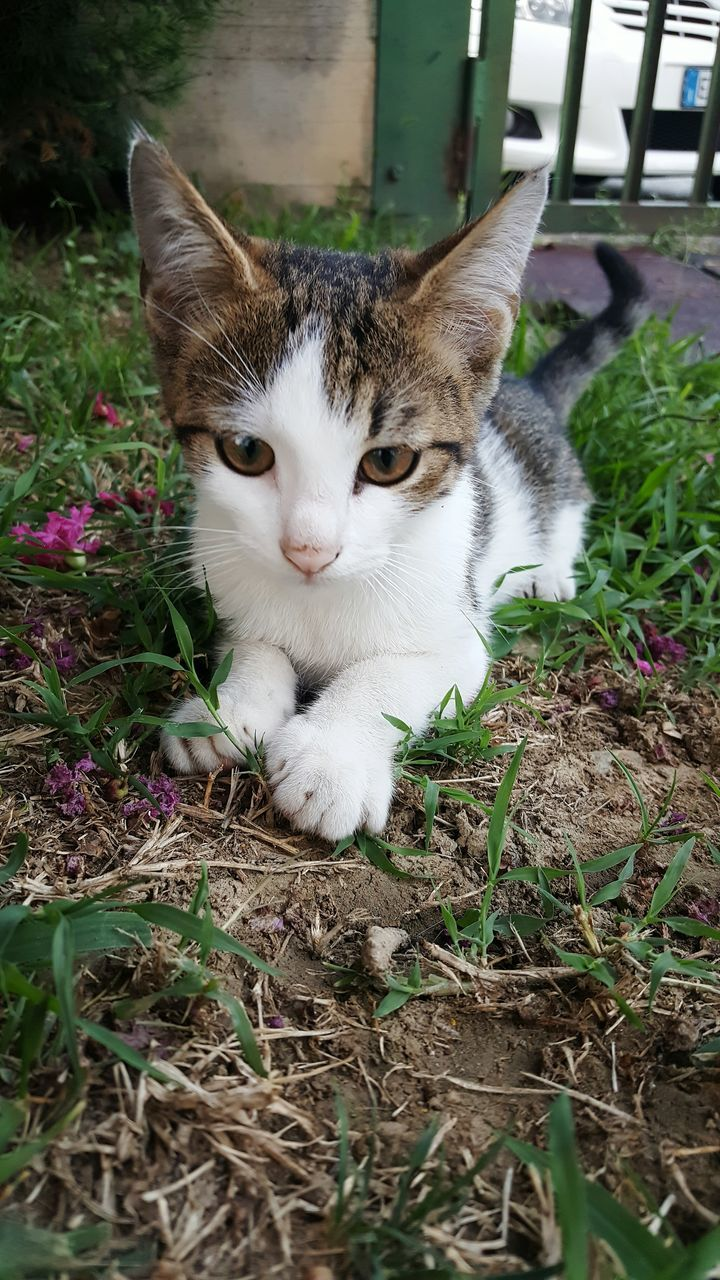 animal themes, domestic cat, one animal, domestic animals, mammal, pets, feline, no people, looking at camera, day, plant, nature, portrait, outdoors, close-up, flower
