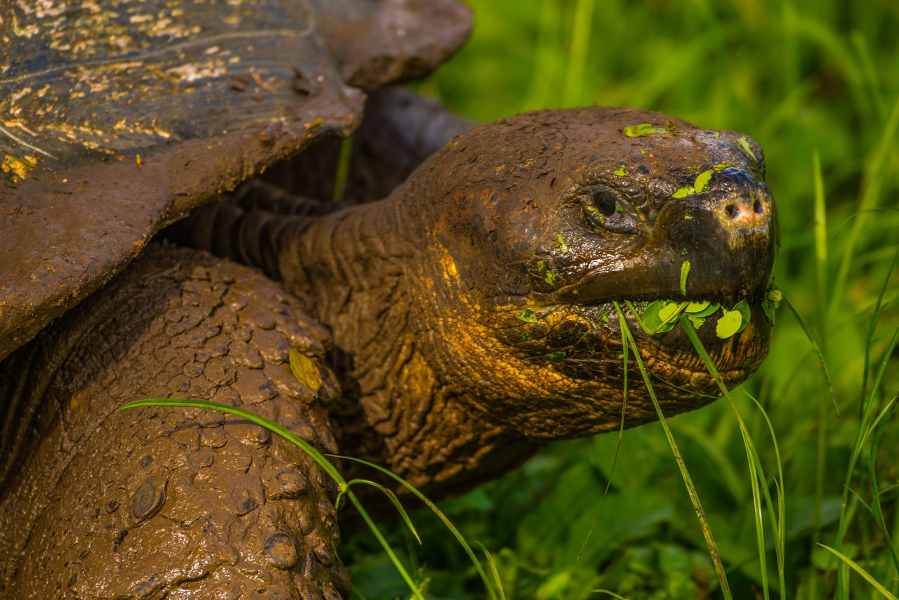 Beautiful stock photos of kunst, Eating, Galapagos Islands, Giant Tortoise, Grass