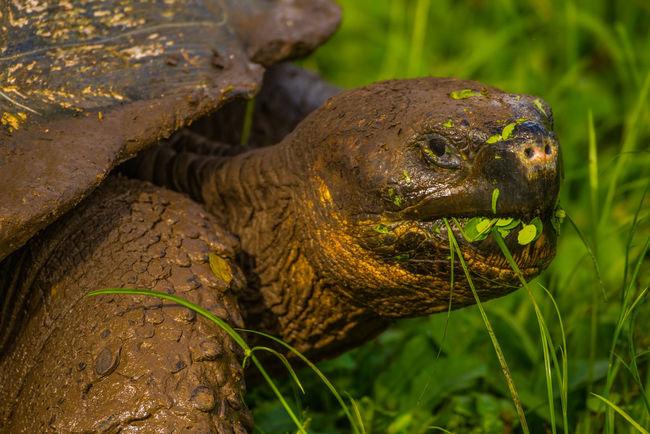 Nikon Galapagos Giant Tortoise Tortoise Giant tortoise in Galápagos.
