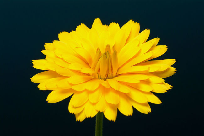 Medicinal plant Calendula officinalis, blossom Beauty In Nature Black Background Bloom Blooming Blossom Calendula Calendula Flowerheads Calendula Flowers Calendula Officinalis Close-up Flower Flower Head Fragility Freshness Growth Medicinal Plant Medicinal Plants Nature Petal Plant Single Flower Springtime Studio Shot Vibrant Color Yellow