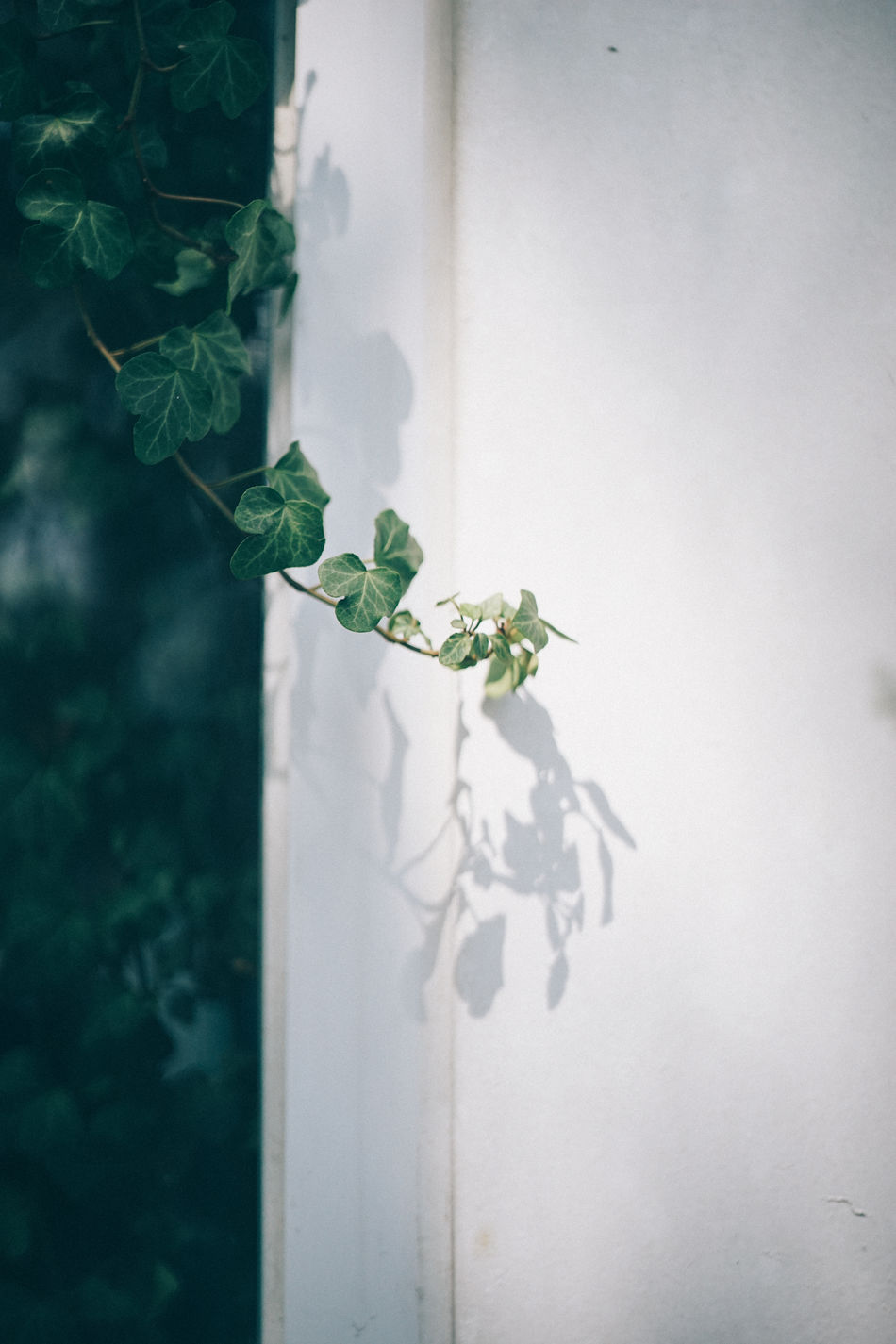 Architecture Close-up Day Fragility Freshness Green Green Color Growth Ivy Ivy Leaves Leaf Nature No People Outdoors Plant Potted Plant Window Resist