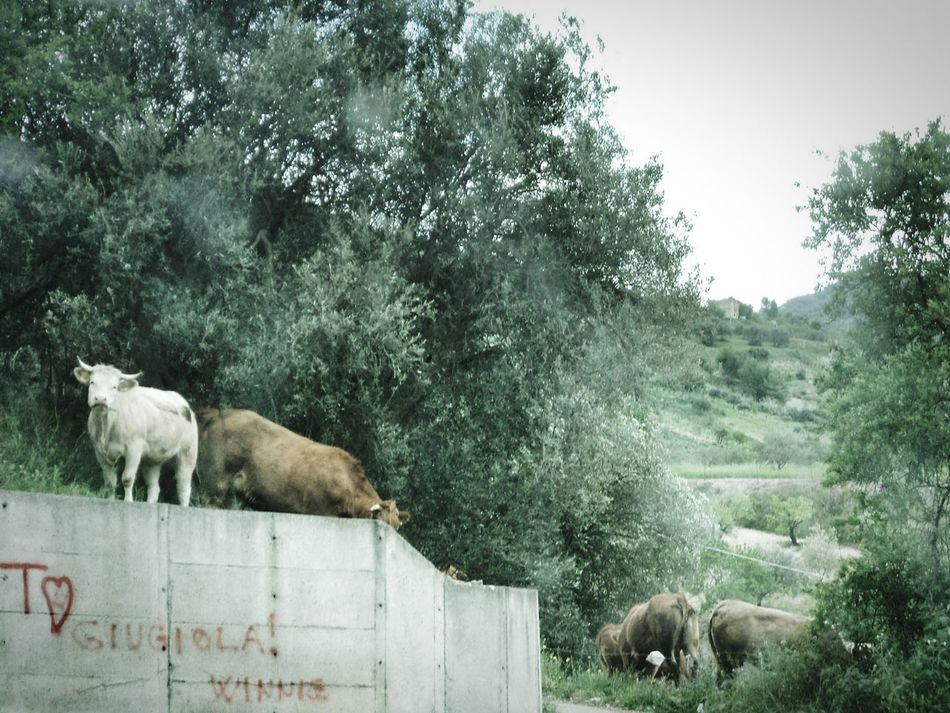 Adventure Club Green Rural Scene Rural Cow Cows Cows In The Street Landscape Rural Scenes Rural Landscape On The Road Showcase July Sicily Mineo