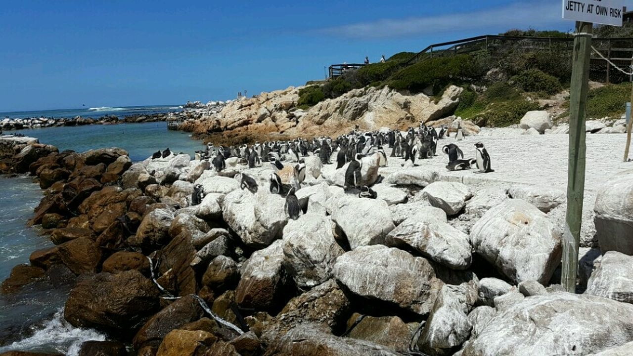 Stony Point Penguins In Africa Beauty In Nature Penguin ♡ Western Cape South Africa 🇿🇦 Beauty In Creation  Animals In The Wild Betty's Bay Penguin Colony