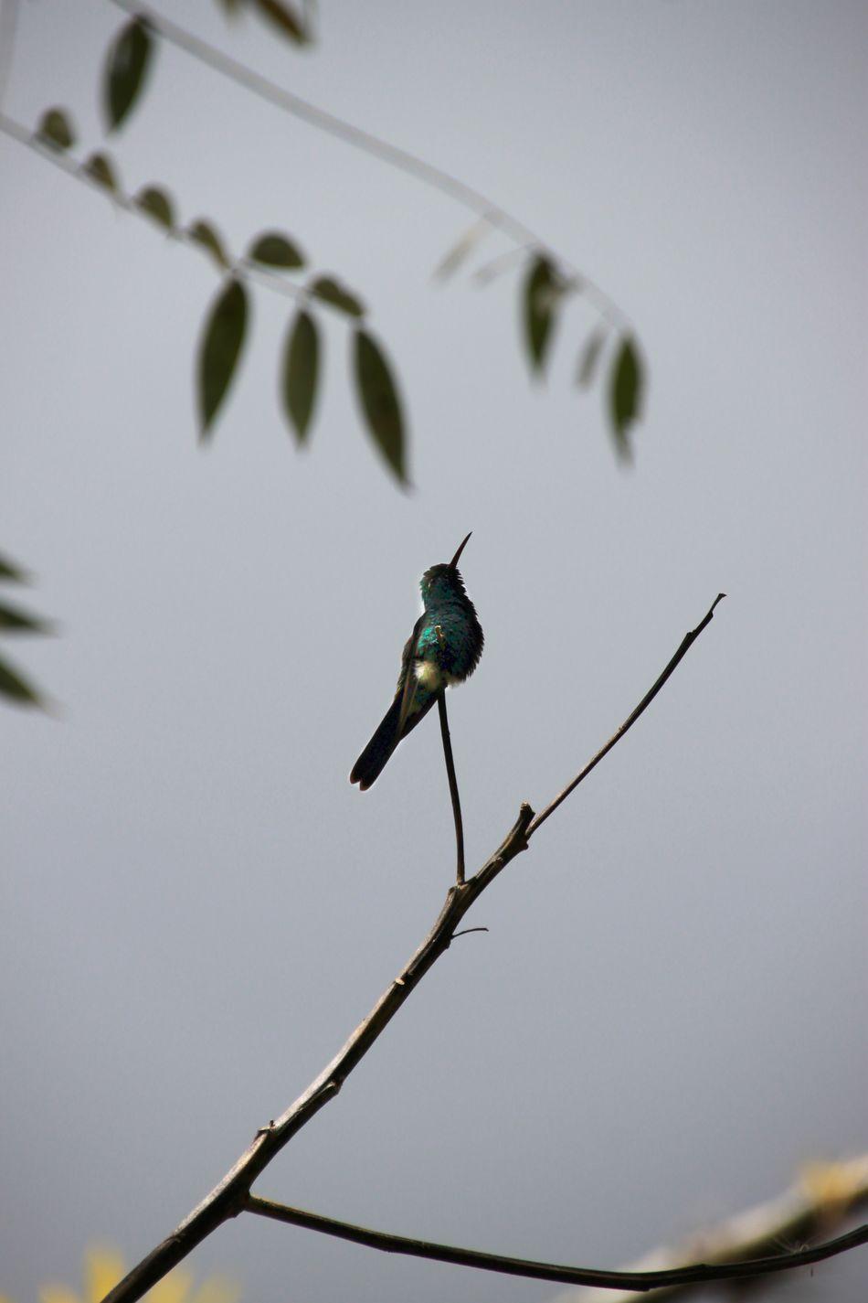 Beautiful stock photos of hummingbird, Animal Themes, Animals In The Wild, Bird, Day