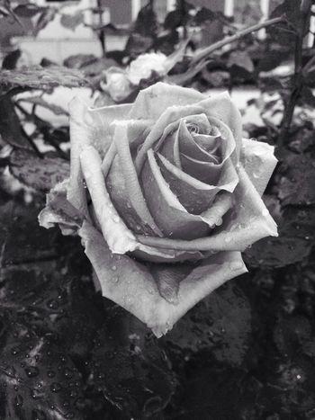 Black Love black rose I Love It ❤ Love Lost I Need It Black Day Depression Ansiedad