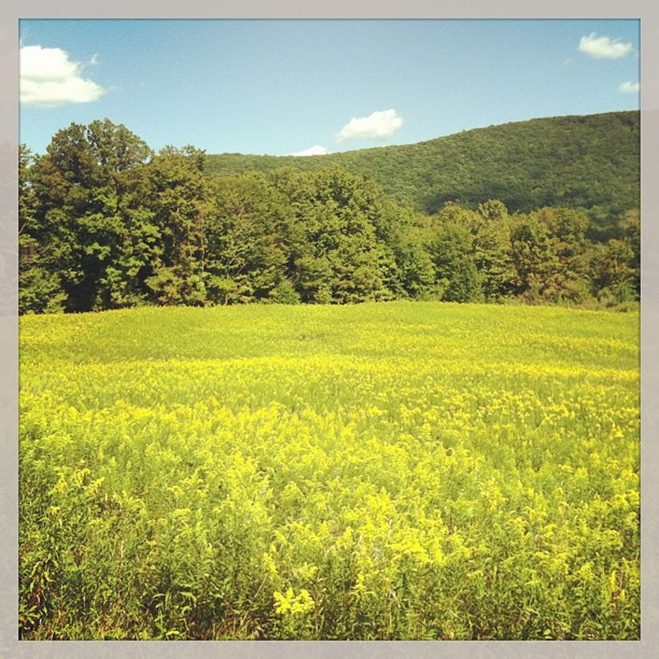 Solidago field