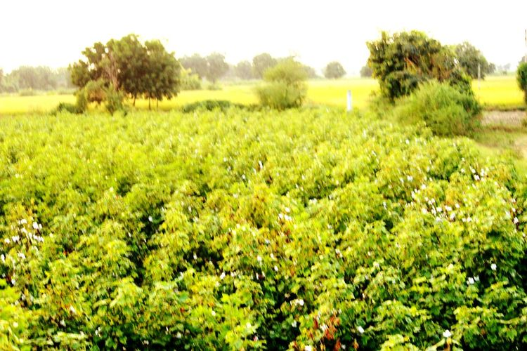 Agriculture Field Nature Rural Scene Green Color Tree No People Outdoors Grass Landscape Growth Fruit Day Food Healthy Eating Beauty In Nature Sky Freshness Green Color Nature Focus On Foreground Beauty In Nature Tree Leaf Selective Focus