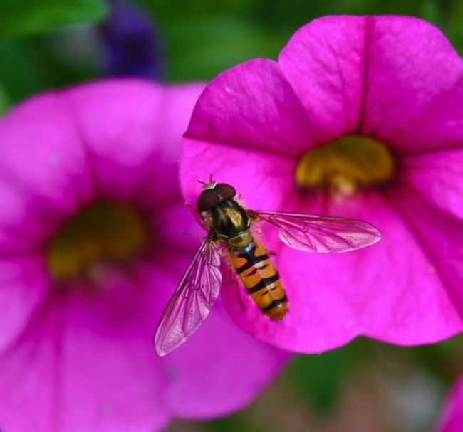 Schwebefliegen werden mir langsam sympathisch... Animal Themes Beauty In Nature Beauty In Nature Blooming Close-up Daslebenistzukurzumtraurigzusein Flower Flower Head Focus On Foreground Freshness Insect Nature Petal Pink Color Pollen Pollination Schwebefliege Symbiotic Relationship Wildlife
