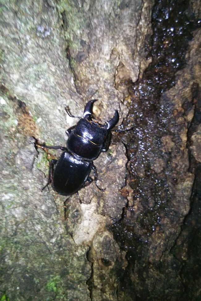Theessenceofsummer Stagbeetle Bug Insect TheWeekOnEyeEM Woods Woodscapes View Nature Japan Small Enjoying Nature Approach クワガタ