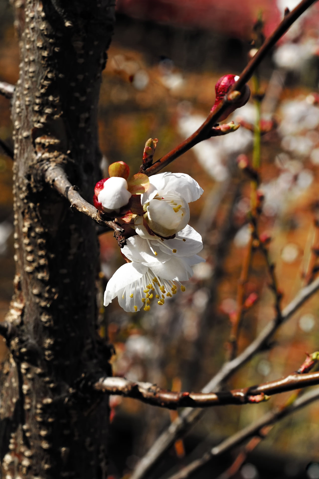 Apricot Apricot Flowers Apricot Tree Beauty In Nature Branch Close-up Day Flower Flower Head Focus On Foreground Fragility Freshness Growth Nature No People Outdoors Petal Springtime Tree Twig White Color