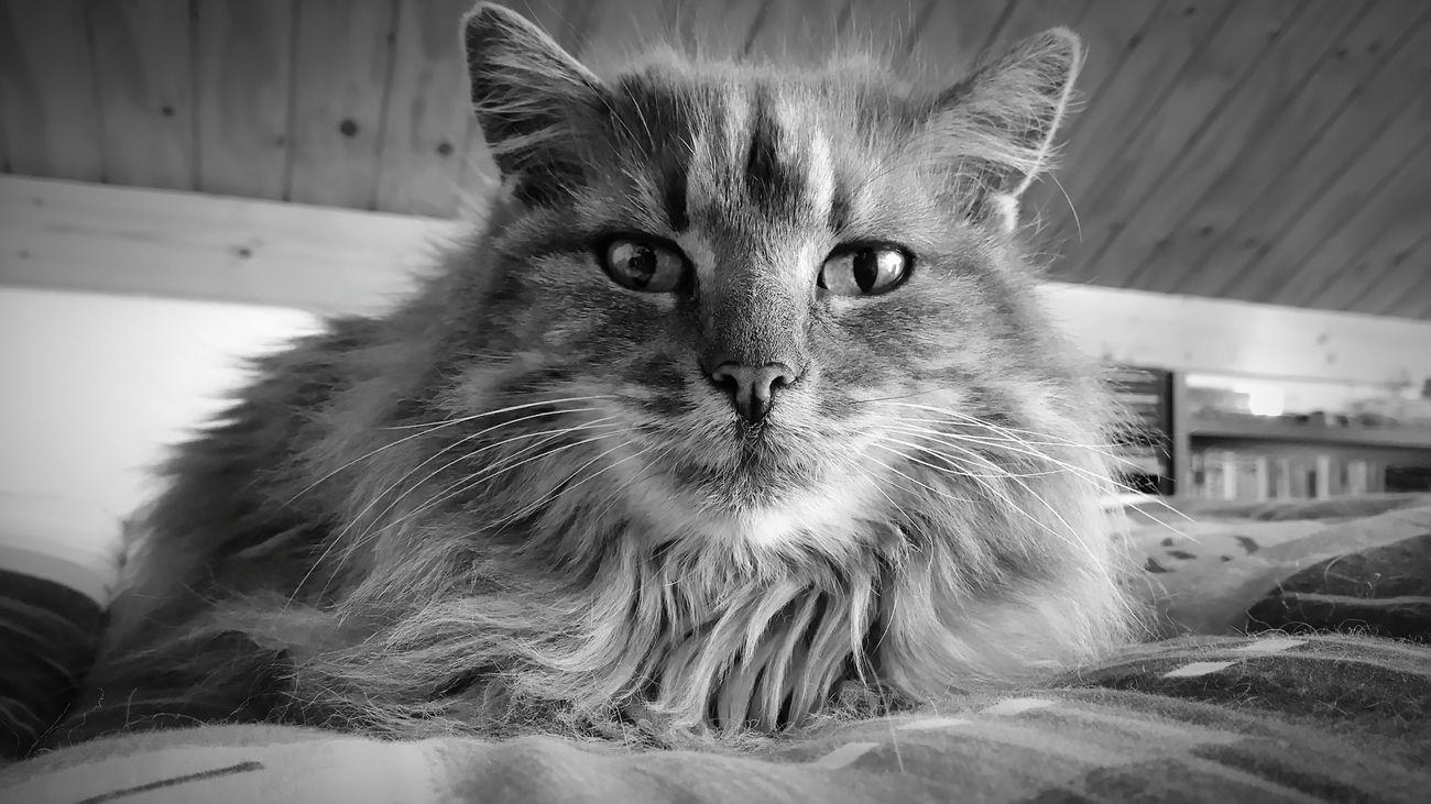 Hi i'm jenny nice to meet you Domestic Cat Pets Domestic Animals Close-up Cat Taking Photos Portrait Photography EyeEm Best Shots Eyeem Best Shot Feline Blackandwhite