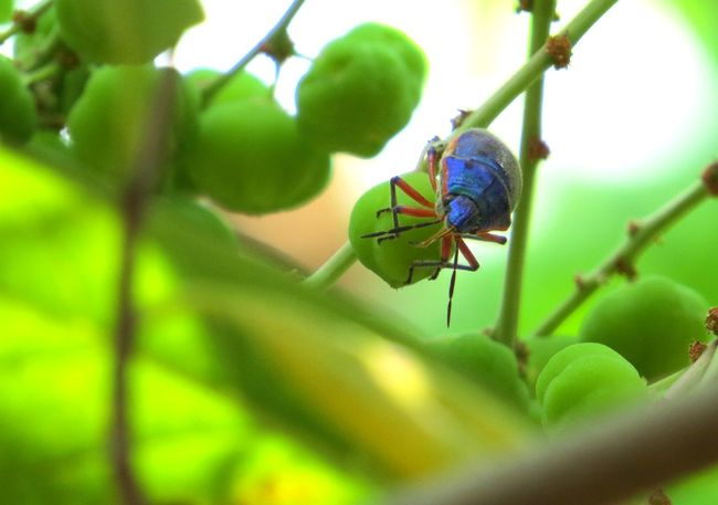 Blue beetle with orange legs Blue Beetle Close-up Insect Leaf Macro Plant Zoology