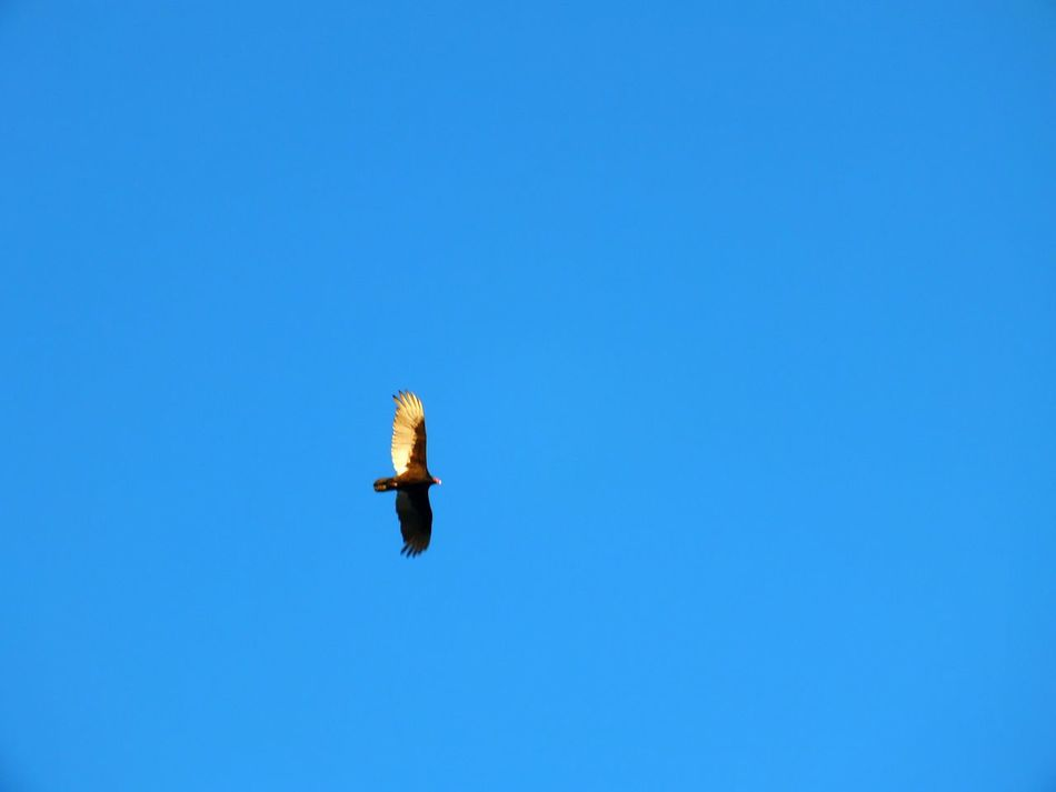 Blue Clear Sky Low Angle View Flying One Animal Mid-air Sky Day Outdoors No People Bird Beauty In Nature EyeEm Best Shots EyeEmNewHere EyeEm Gallery Eyeemphotography FujifilmFinePix Nature Photography Fujifilmhs35exr Outdoors Photograpghy