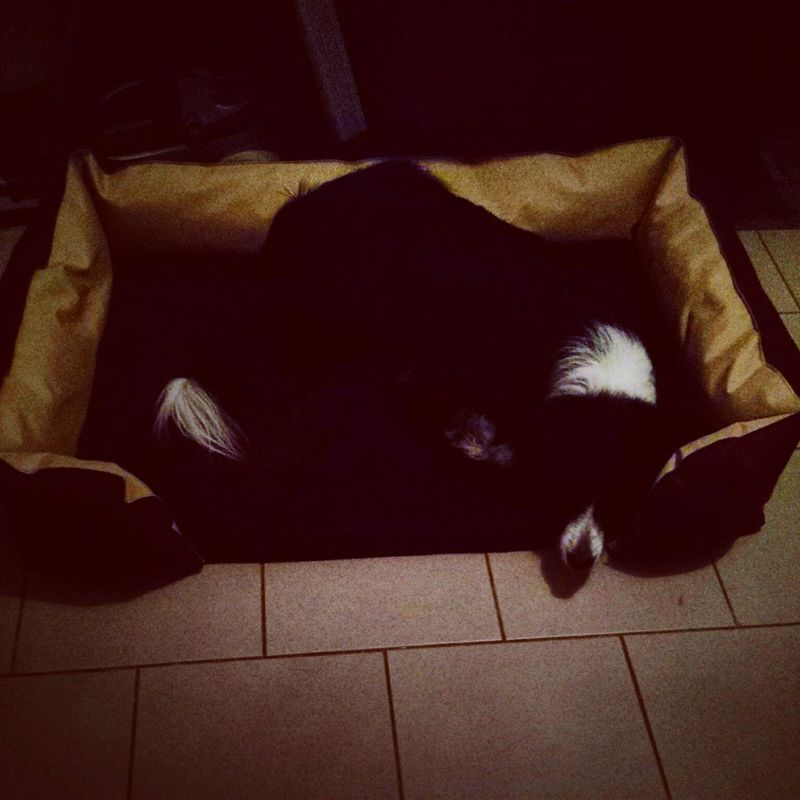 Jessie Dog Love Collie Sleeping Dog Border Collie Dogs Sleep Bed My Honey ??❤❤❤