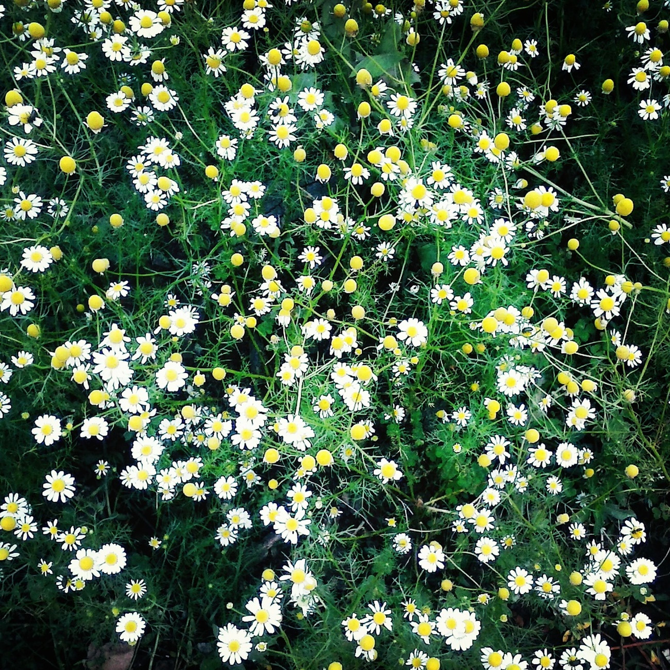 flower, freshness, growth, fragility, beauty in nature, white color, petal, nature, blooming, plant, flower head, in bloom, field, blossom, high angle view, full frame, abundance, backgrounds, springtime, day