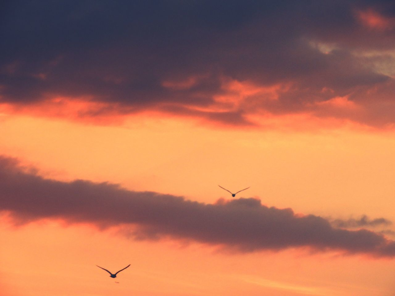 Flying Sunset Silhouette Sky No People Nature Animal Wildlife Animals In The Wild Birds Flying Birds Sunset Silhouettes EyeEmNewHere The Week Of Eyeem Romantic Sky Dramatic Sky Tranquility Beauty In Nature Animal Themes Bird Natural Phenomenon Dusk Dusk Sky