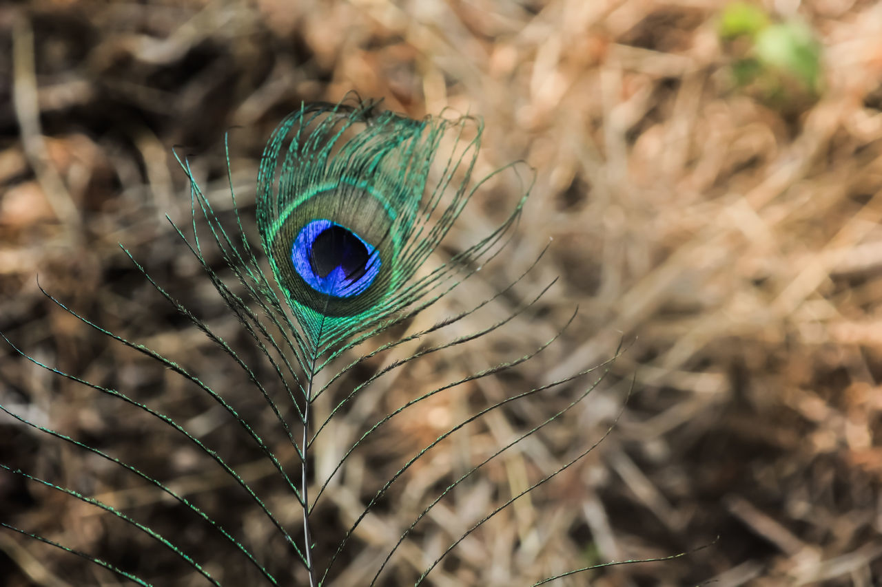 peacock, feather, peacock feather, one animal, close-up, focus on foreground, no people, bird, animal wildlife, animal themes, animals in the wild, day, outdoors, nature, fragility, beauty in nature
