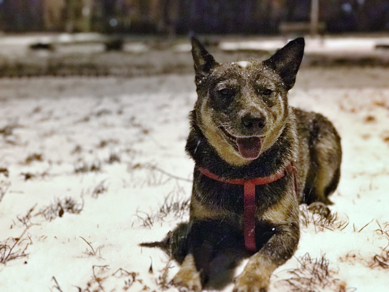 Australian Cattle Dog Dino's first time in the snow Animal Themes One Animal Pets Dog Mammal Domestic Animals Looking At Camera Portrait Focus On Foreground No People Close-up Outdoors Snow Blue Dog ACD  Australian Cattle Dog Blue Heeler Cattle Dog Smile Pant