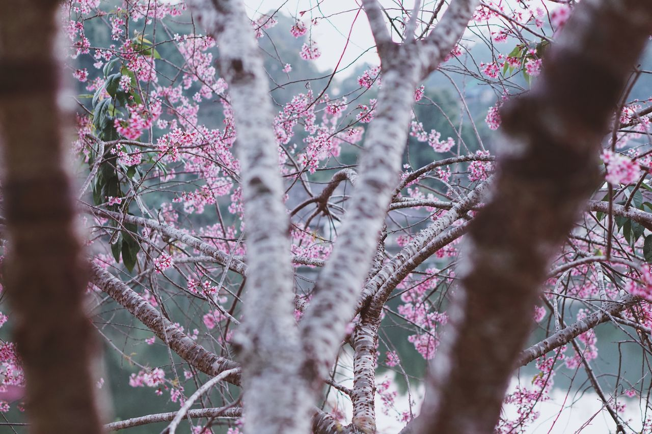 Wild Himalayan Cherry Blossom Flower Prunus Prunus Cerasoides Plant Pink Pink Flower Thailand Nature Petals🌸 Meahongson EyeEmNewHere EyeEmNewHere
