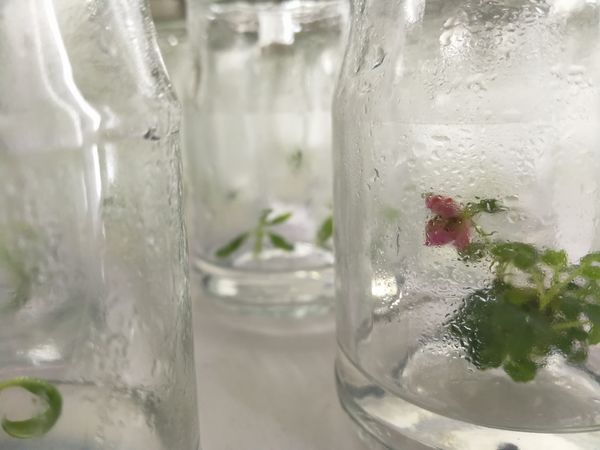 No People Water Close-up Indoors  Freshness Day Nature Tiny Tiny Flowers Laboratory Botany Tissue Culture Plant Glasses Water Education Business Beauty Flower Tiny Planet Tinyworld Sciences Science Lab EyeEmNewHere