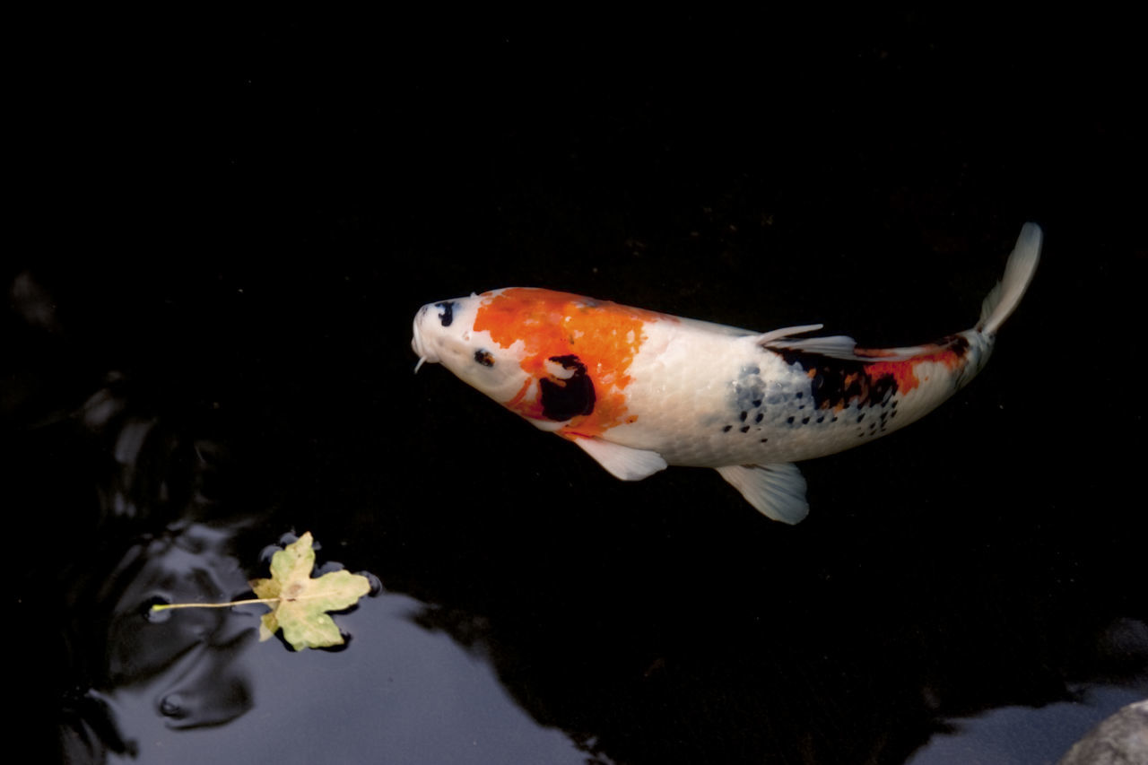 Koi Flying Fish Fish Fall Colors Water Color Creative Light And Shadow Japanese Garden Spiritual Floating Nature On Your Doorstep