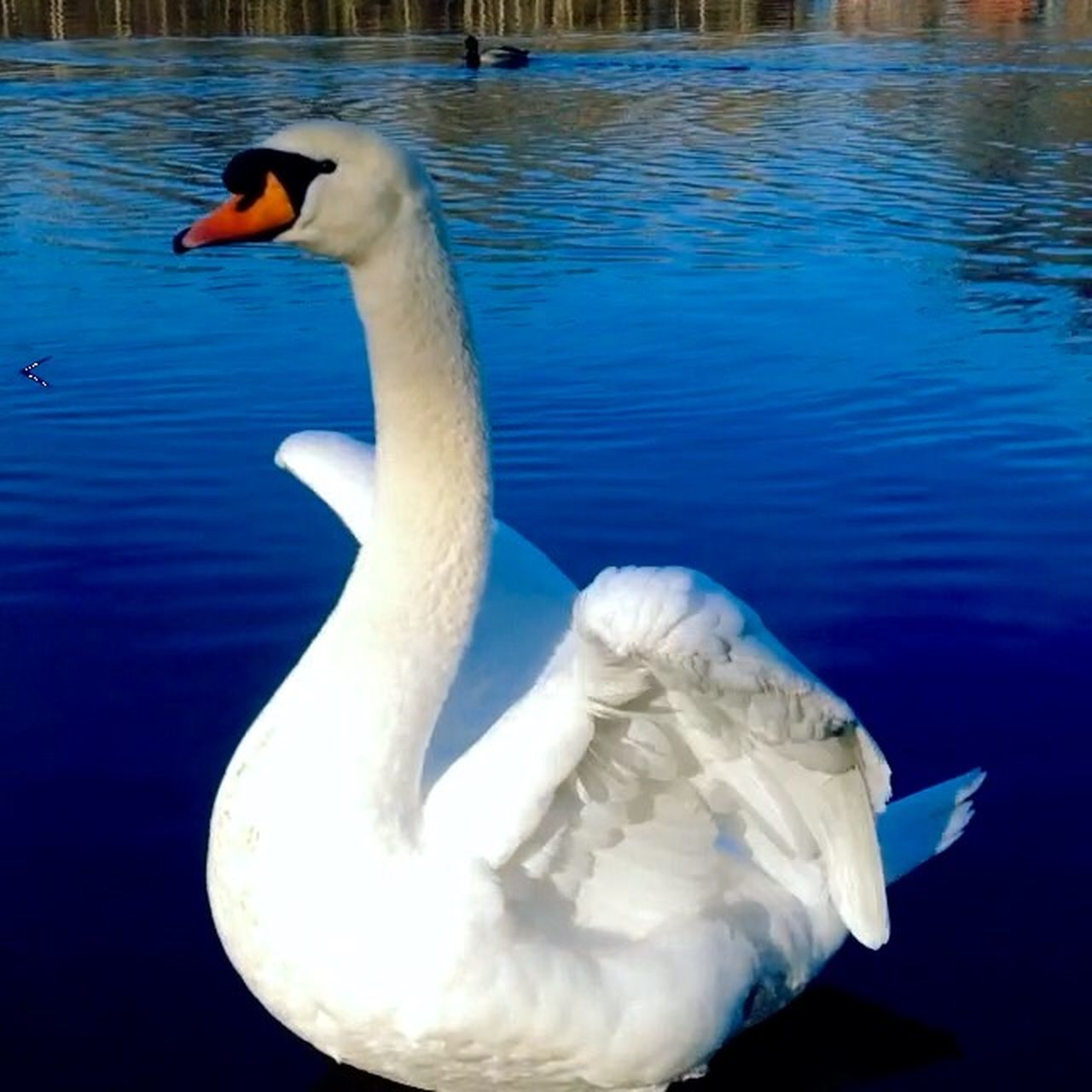 animals in the wild, one animal, bird, animal themes, animal wildlife, swan, white color, lake, water, beak, water bird, no people, day, swimming, nature, outdoors, close-up, beauty in nature