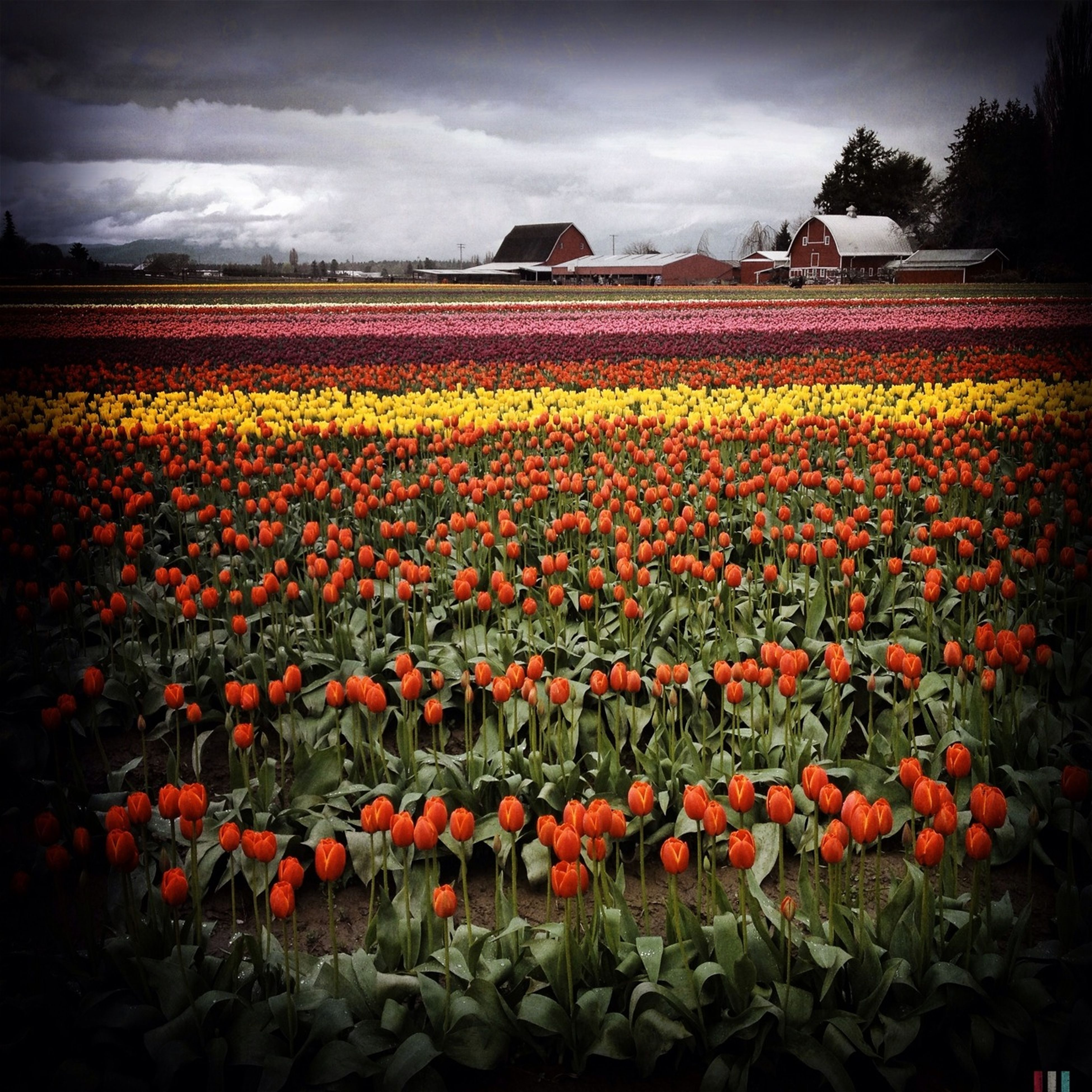 flower, field, agriculture, rural scene, freshness, abundance, sky, beauty in nature, growth, tulip, cloud - sky, nature, red, landscape, flowerbed, yellow, farm, fragility, blooming, tranquil scene