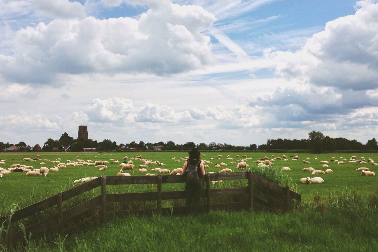 Beautiful stock photos of sheep, Animal Themes, Cloud, Day, Grass