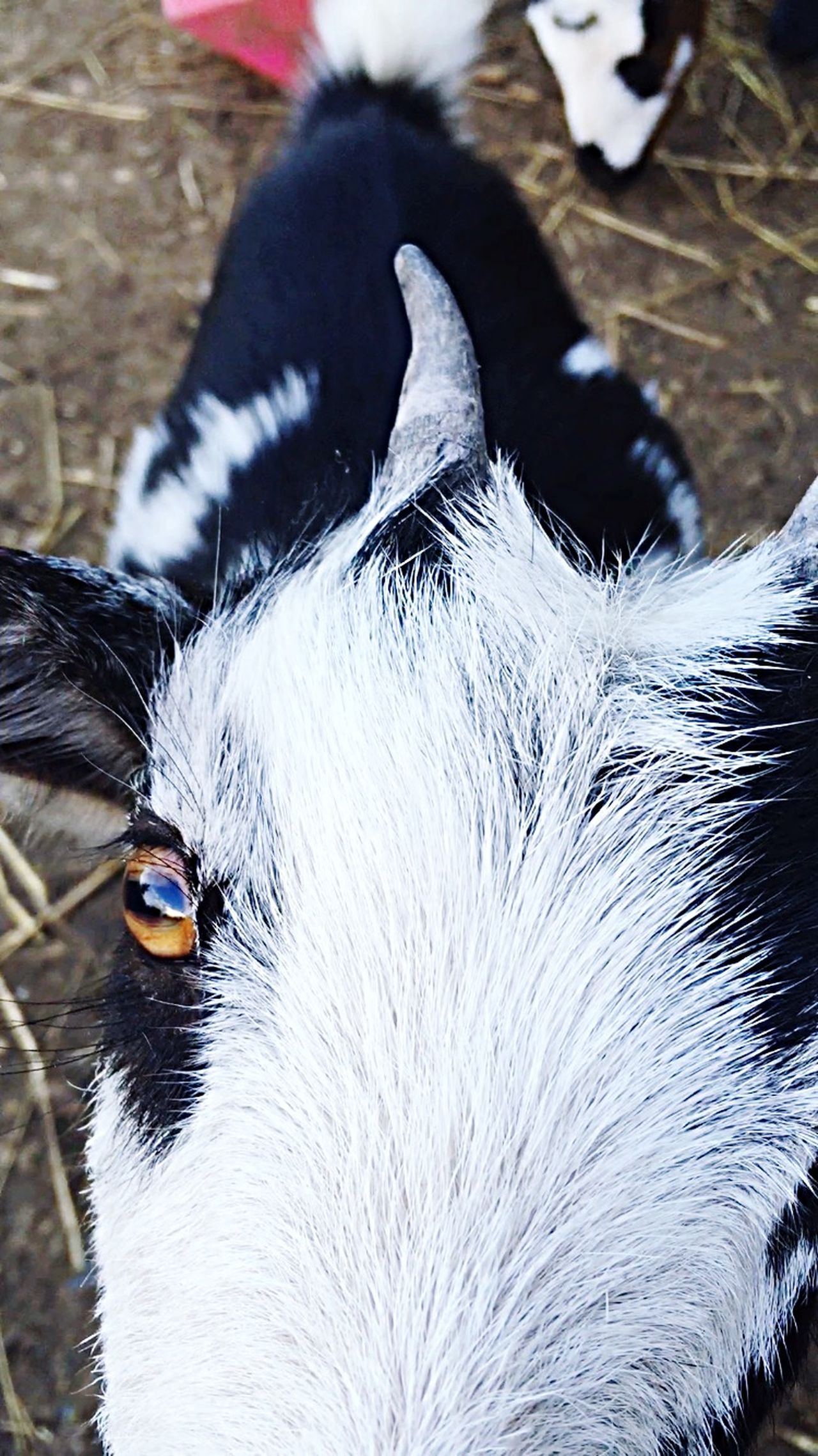 Beautiful stock photos of goat, Animal Head, Animal Themes, Detail, Domestic Animals
