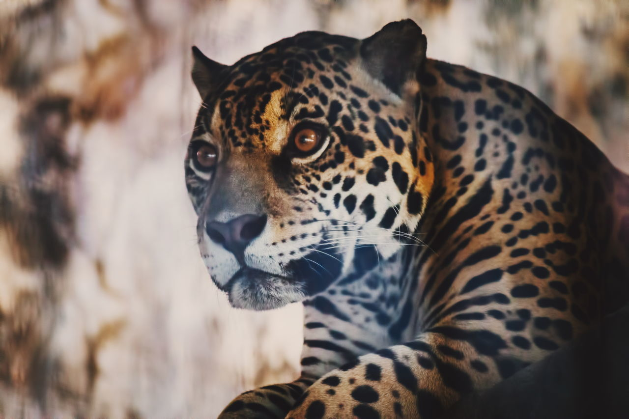 leopard, spotted, one animal, animal themes, focus on foreground, mammal, animal markings, animals in the wild, close-up, day, no people, outdoors