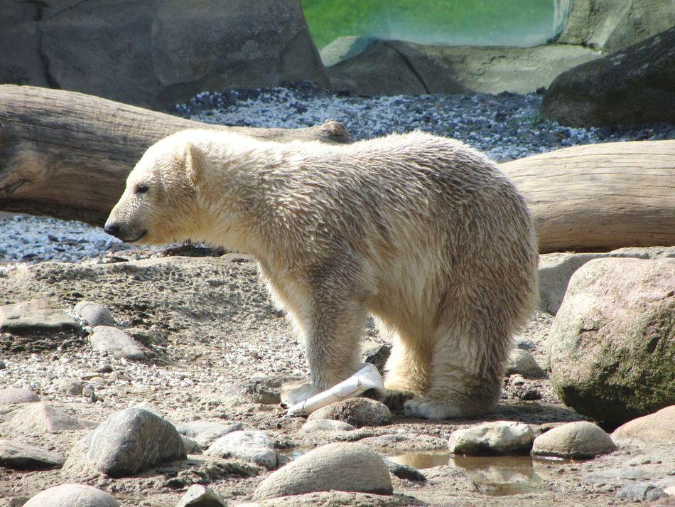 Beautiful stock photos of polar bear, Animal Themes, Animals In The Wild, Arctic, Bear