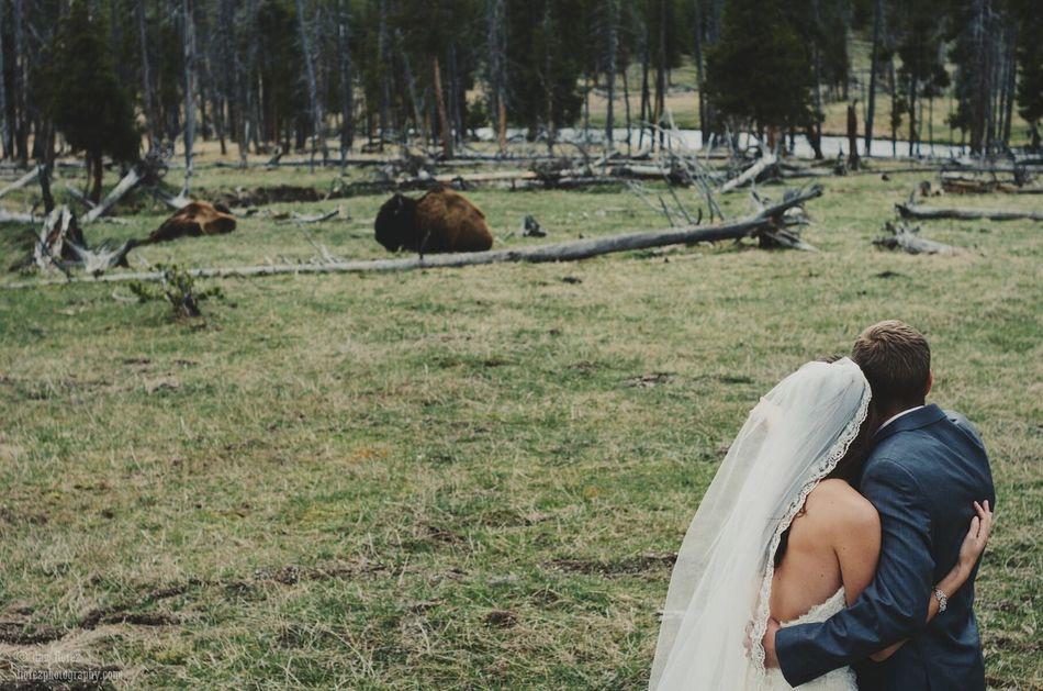 Beautiful stock photos of buffalo,  Beauty In Nature,  Bison,  Bride,  Buffalo