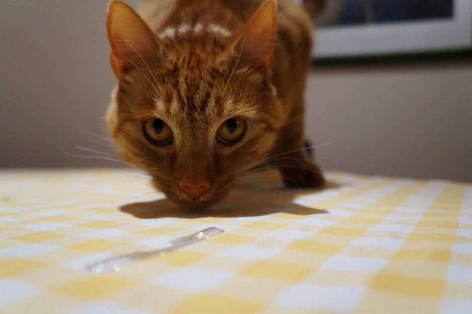 Cat Eyes Staredown Mycatisawesome
