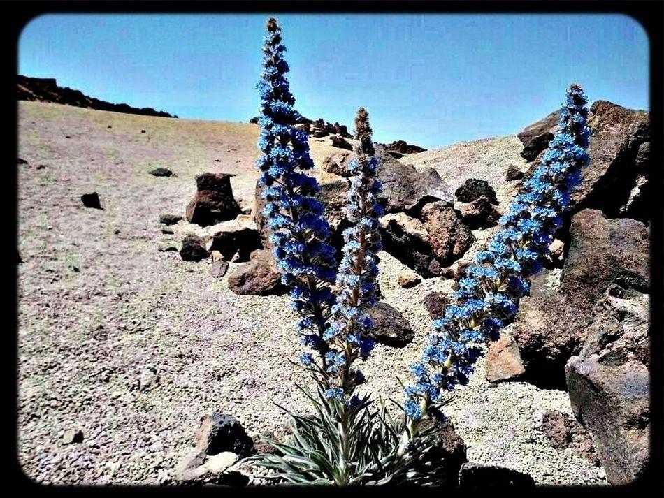Flowers Flores El Teide Tajinastes