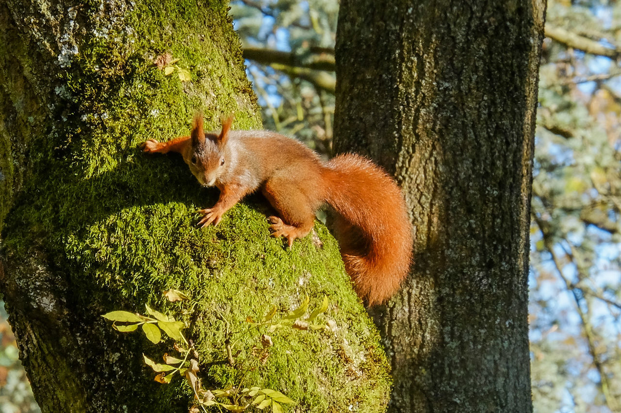 Animal Themes Animal Wildlife Animals In The Wild Close-up Day Grass Mammal Nature No People One Animal Outdoors Red Panda Squirrel Tree Tree Trunk
