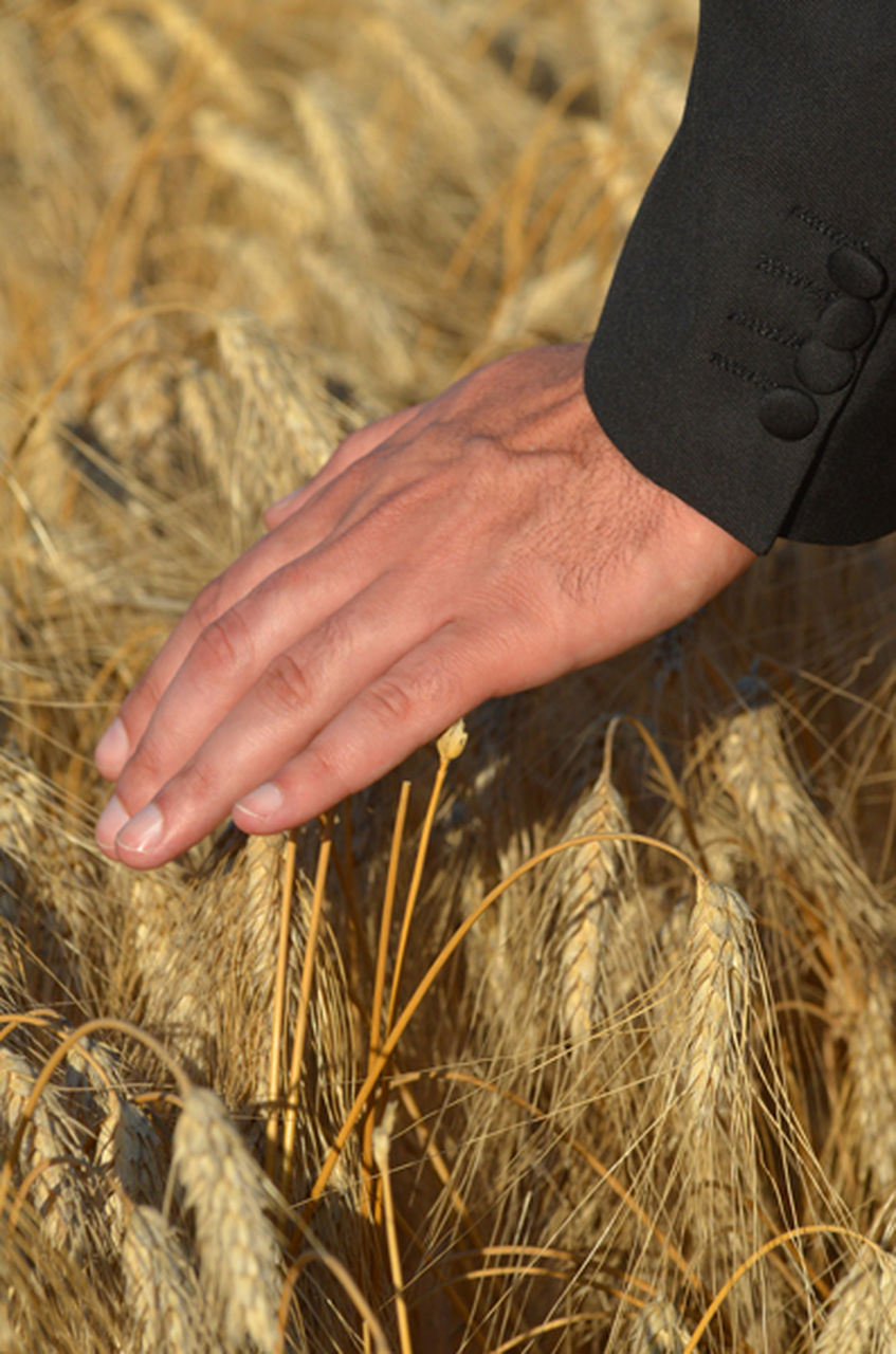 cereal plant, human hand, wheat, agriculture, crop, human body part, hay, straw, harvesting, gold colored, barley, farm, field, farmer, close-up, one person, rural scene, outdoors, grass, whole wheat, gold, farm worker, nature, rye - grain, ear of wheat, day, men, combine harvester, people, adult, one man only, adults only