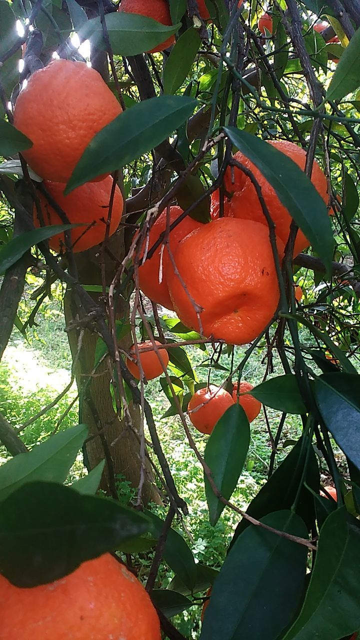growth, red, fruit, leaf, tree, beauty in nature, hanging, no people, day, nature, freshness, outdoors, food and drink, plant, close-up, food