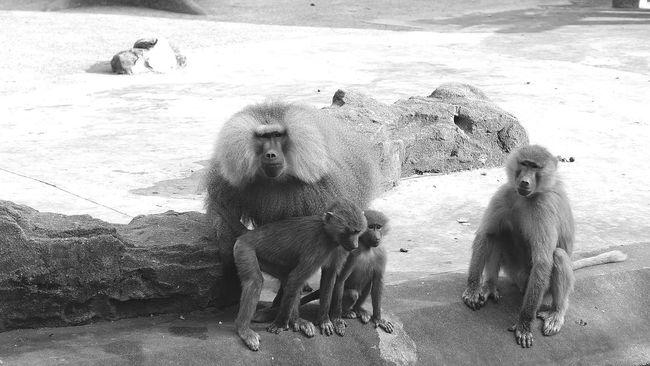 Shanghai, China 上海动物园 猴子 逗逼猴子欢乐多