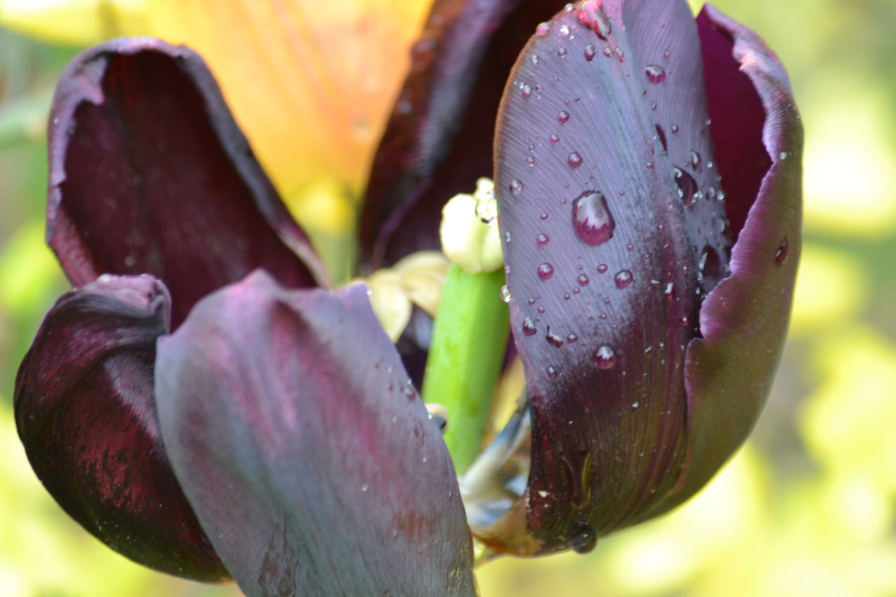 drop, petal, nature, flower, beauty in nature, wet, growth, fragility, close-up, freshness, no people, water, outdoors, flower head, day, focus on foreground, plant, raindrop, blooming