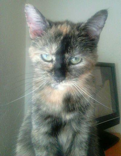 Cat♡ One Animal Domestic Cat My Lovely Cat Bibi Pet Portraits Kedi Gato😽