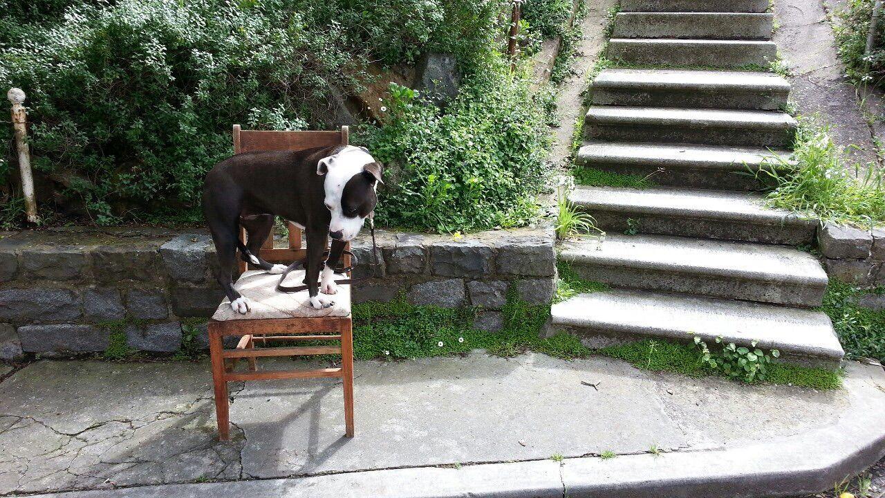 Pets Corner Spoon The Dog Chair Stairways Staffy Pitbull