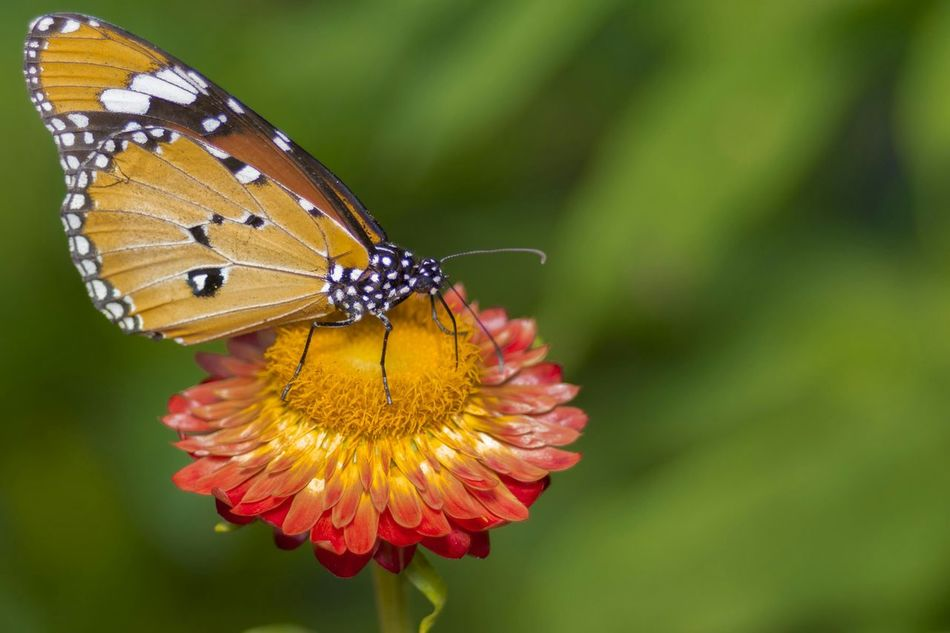 Beautiful stock photos of butterfly, Animal Themes, Animals In The Wild, Beauty In Nature, Butterfly